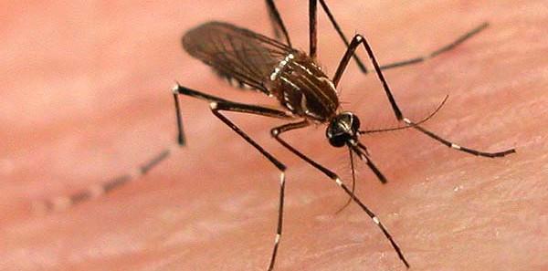 Come attaccano le zanzare e perché preferiscono voi a un altro